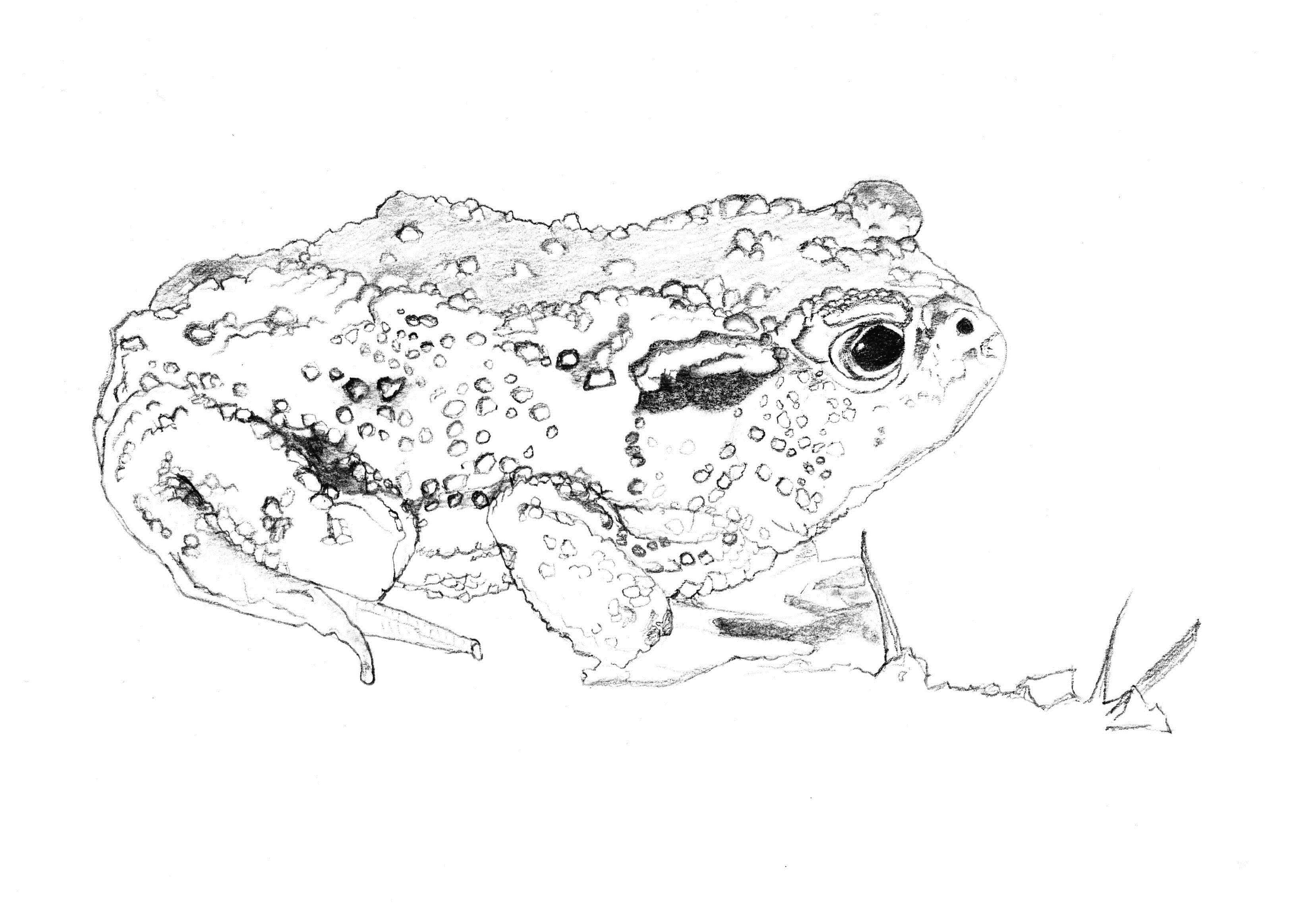 Crapaud commun © Grand'Air Illustration