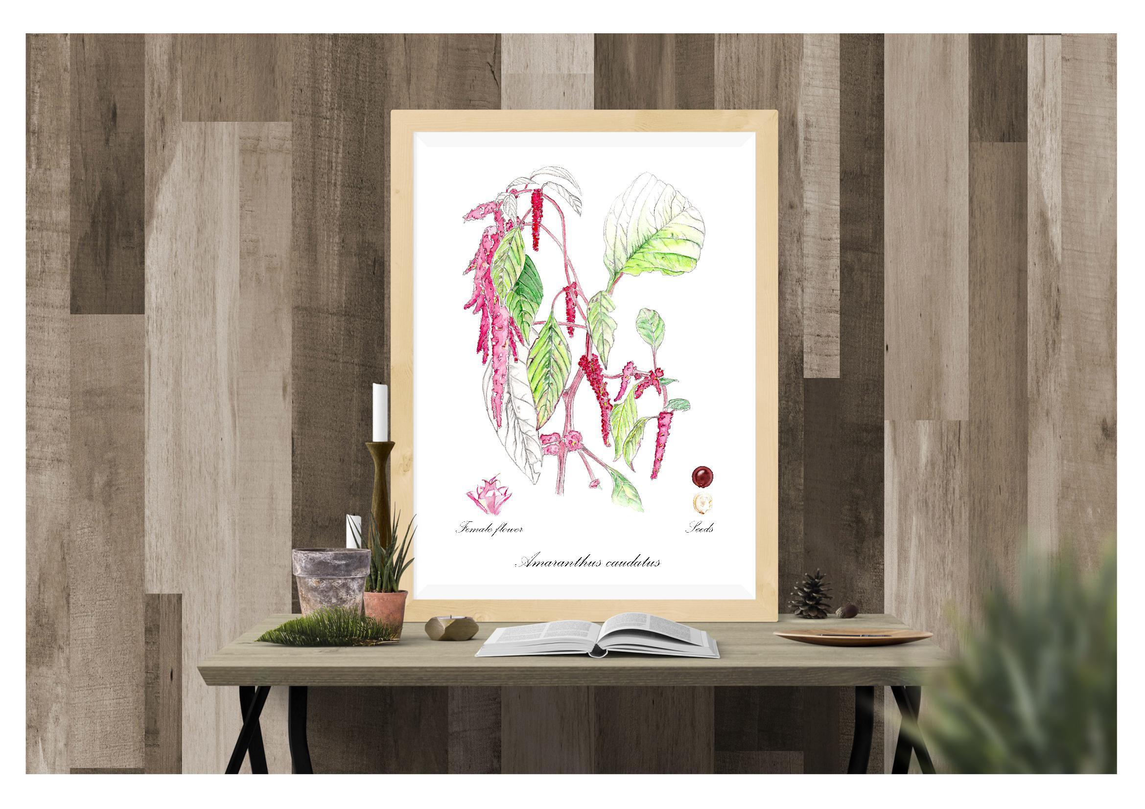 Planche botabique Amaranthus caudathus © Grand'Air Illustration