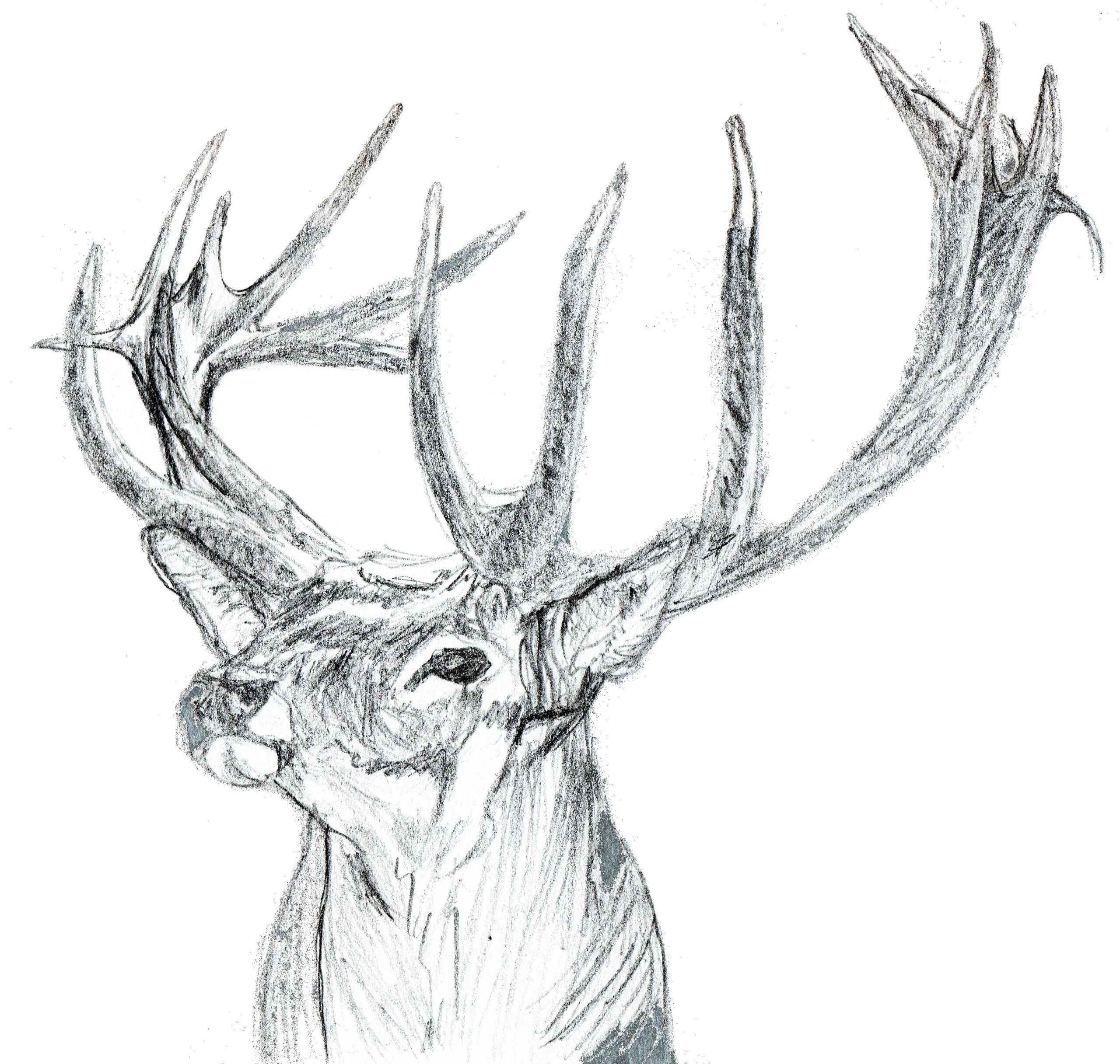 Cerf © Grand'Air Illustration