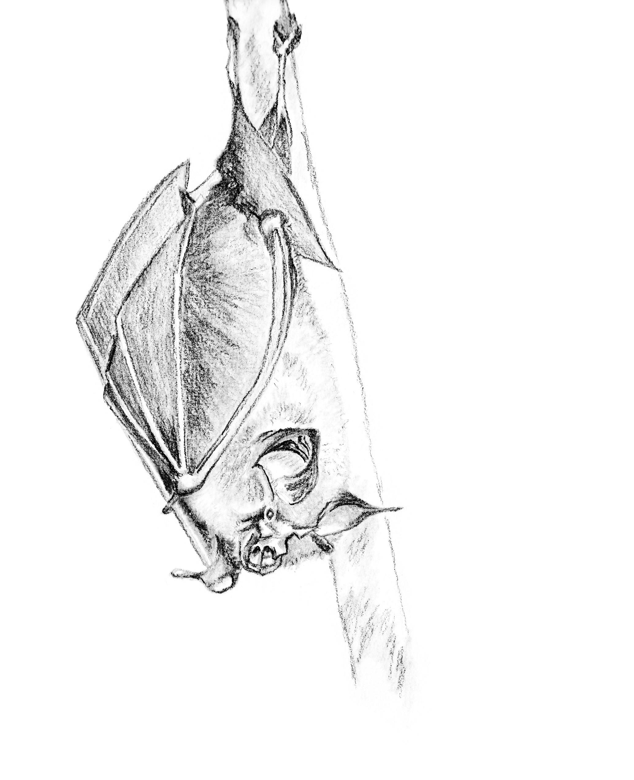 Petit Rhinolophe © Grand'Air Illustration